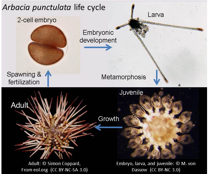 ArbaciaLifeCycle.jpg
