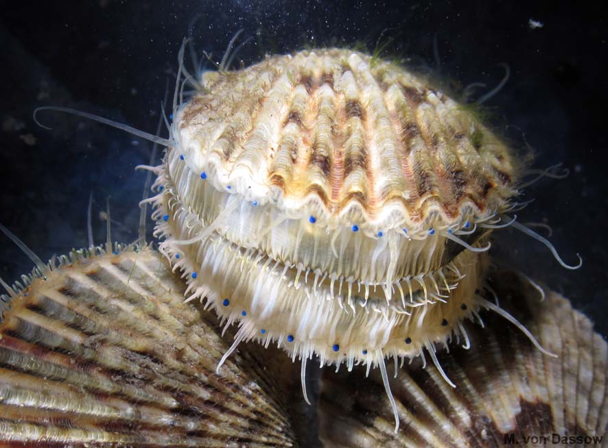3cmScallop_2013May24_CropScale.jpg
